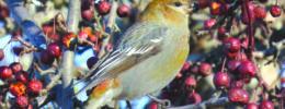 pine grosbeak bird