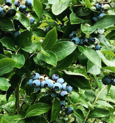 close up of bunch of blueberries on bush